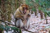 Actobat Barbary Macaque Monkey Balancing On A Branch