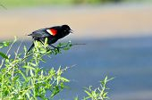 Red-winged Blackbird Perched In A Tree