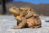 picture of glass frog  - Pair of brown Frogs in the nature - JPG