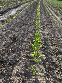 Sugar Beet Field (beta Vulgaris Subsp. Vulgaris)