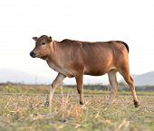 brown cow in the field