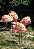 Four American Flamingos (phoenicopterus Ruber)