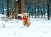 Young golden retriever run at the snow in winter park