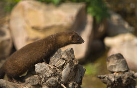 pic of mink  - Gazing european mink or mustela lutreola also known as the Russian mink resting on tree branch - JPG