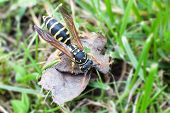 Wasp foraging