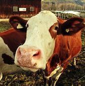 Curiosity Cow On Alpine Farm