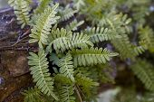 Resurrection Ferns - Pleopeltis polypodioides