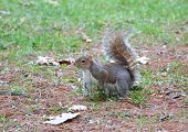 a nice example of a squirrel