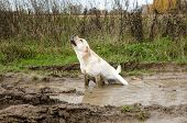 dirty dog sits puddle