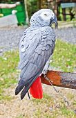 The African Grey Parrot
