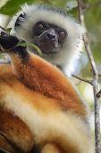 Black, white and brown lemur