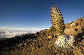 Silversword plant in flower, Haleakala National Park, Maui, Hawaii