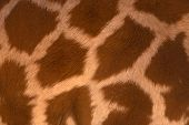 Real life Giraffe pattern
