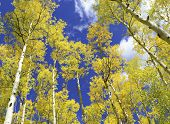 Aspen trees in golden Fall colors
