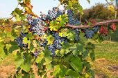Bunches of ripe grapes on the vine