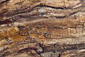 Old Walnut Tree Trunk Texture