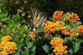 Sicilian butterfly