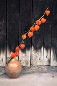 Orange flower - bladder cherry