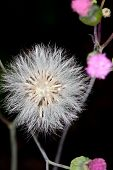 Fluffy Dried Flower Seed Head