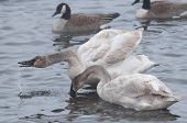 Pair Of Trumpeter Swans (Cygnus buccinator) Preening & Water Droplets