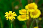 Wild Yellow Flowers Macro