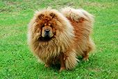 picture of chow-chow  - Red chow chow on a green grass - JPG