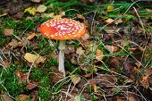 Amanita Muscaria - Beautiful Mushroom - Very Toxic
