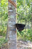 Para Rubber Tree In Tropical Plantation