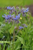 foto of rare flowers  - Borage - Borago officinalis