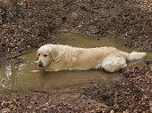 Dirty golden retriever