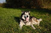 foto of sled-dog  - sled Northern dog Alaskan Malamute - JPG