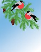 fur-tree branch and bullfinches