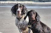 A Working Type English Springer And Cocker Spaniels Sat Together On A Sandy Beach