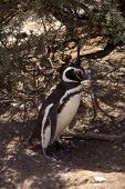 Magellanic penguin in Patagonia