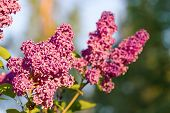 Lilac Flower Blossom Tree