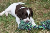 Very Cute Young Liver And White Working Type English Springer Spaniel Pet Gundog Puppy