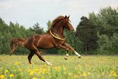 pic of galloping horse  - Chestnut horse with flower cilrclet galloping free - JPG