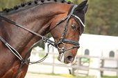 Beautiful Sport Horse Portrait In Summer