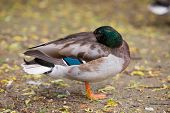 stock photo of ducks  - Mallard duck sleeping on the bank of the duck pond at Horsham Park Horsham Surrey UK - JPG