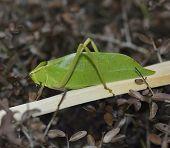 Leaf Bug,Close Up Shot