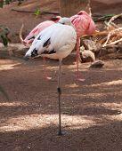 Resting Flamingoes