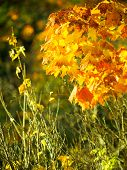Autumn Maple Trees Background