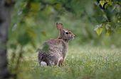 Rabbit in the backyard