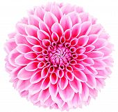 Dahlia, pink spring flower with stem on white background