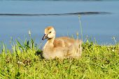 image of baby goose  - Baby Canadian Goosling Resting in the Grass - JPG