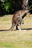 Kangaroo Checking Crotch