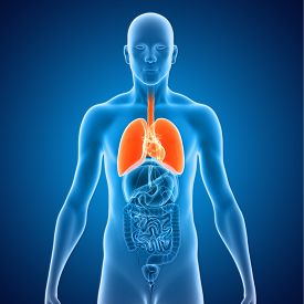 foto of respirator  - The lungs are the essential respiration organ and are located near the backbone on either side of the heart - JPG