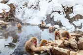 pic of macaque  - Snow Monkeys Japanese Macaques bathe in onsen hot springs of Nagano - JPG