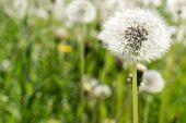 foto of dandelion seed  - Single dandelion seed head unfocused in a green grass meadow - JPG