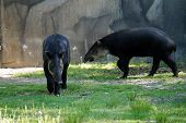 picture of terrestrial animal  - A pair of lowland tapirs  - JPG